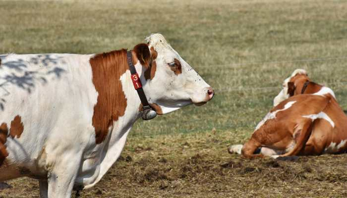What Does It Mean To Dream About Cows?