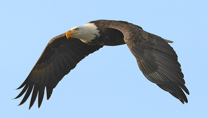 What Does It Mean To Dream About Eagle?