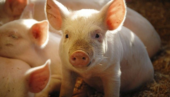 What Does It Mean To Dream About A Pig?