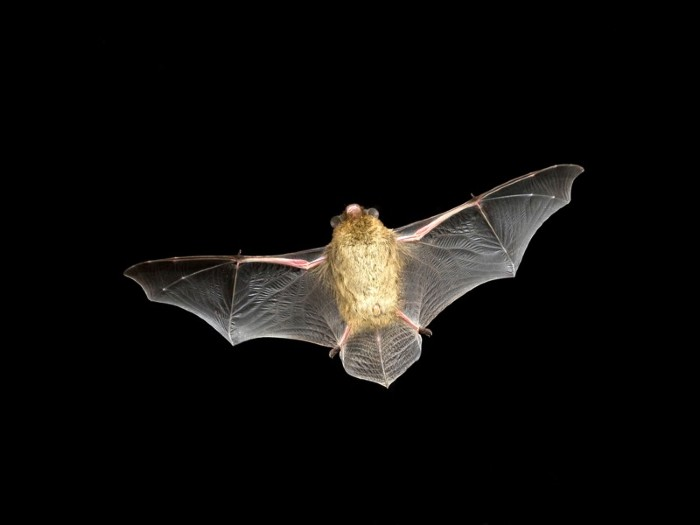 What does it mean to dream about a bat totems?