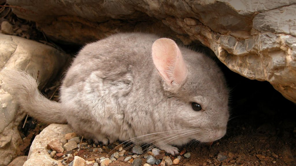 What does it mean to dream about a chinchilla totems?