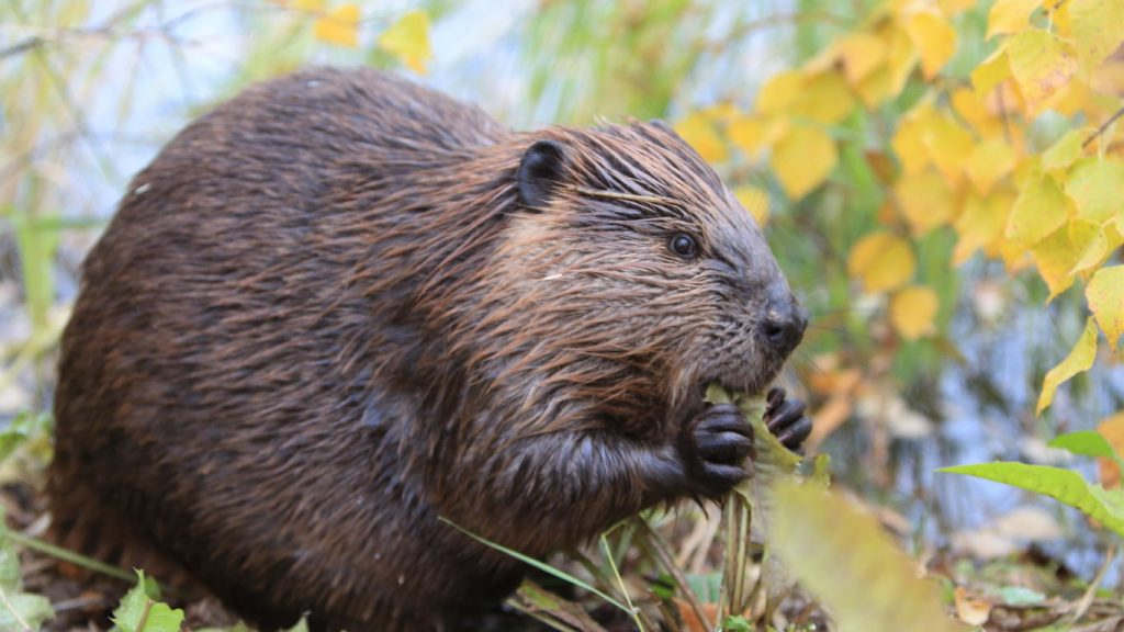 what does it mean to dream about beaver (totem)