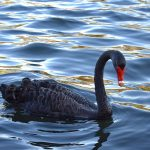 what does it mean to dream about Black swan