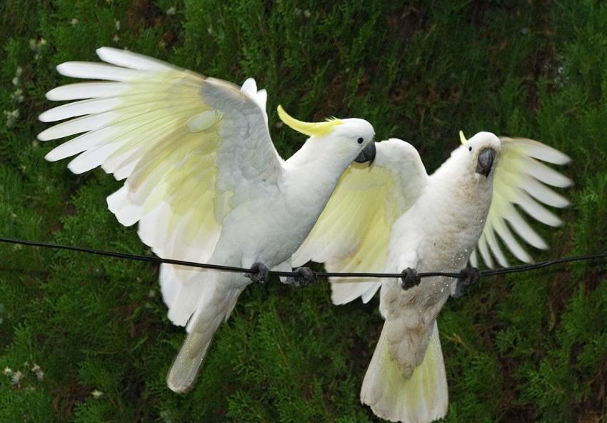 cockatoo: Spirit Animal, Totem, Symbolism and Meaning