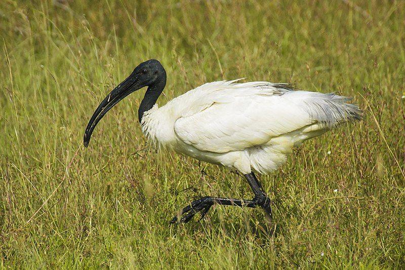ibis: Spirit Animal, Totem, Symbolism and Meaning