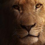 Lion: Spirit Animal, Totem, Symbolism and Meaning
