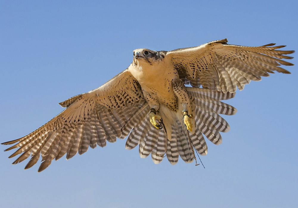 what does it mean to dream about an osprey