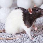 Rat: Spirit Animal, Totem, Symbolism and Meaning