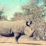 rhino: Spirit Animal, Totem, Symbolism and Meaning