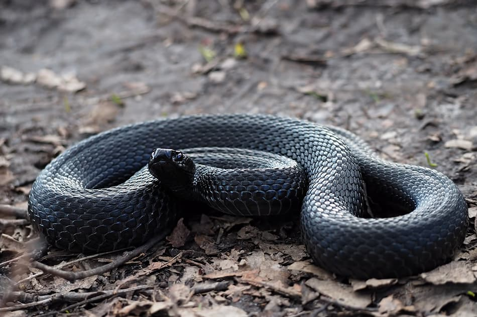 What does it mean to dream about a black snake