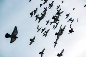 What does it mean to dream about a flock of birds?