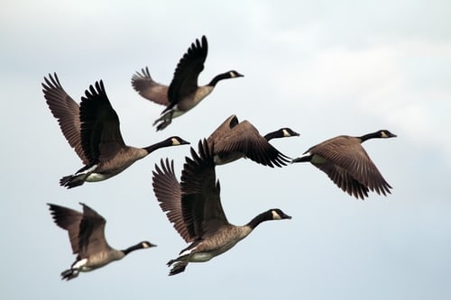 What does it mean to dream about a geese?