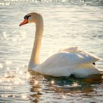 what does it mean to dream about swan?