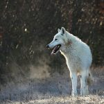 what does it mean to dream about wolf (totem)